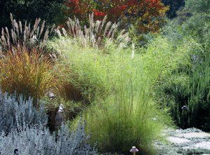 Sunlight illuminating the seed heads of the Miscanthes adagio and foliage of the Mexican feather grass.