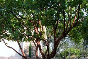 Arbutus Marina in a multi trunked form and highlighting its reddish hued bark.