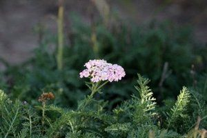 One of the many Achillea millefolium's we use in our plantings.