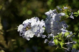 Photo of a Plumbago bloom but not  justice to its bright but pale blue coloring.