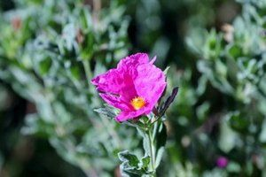 Pink flower of the Cistus 'sunset'. Great spreading shrub with erosion control capabilities.
