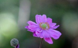 Pink japanese anemone. Does great under Oaks as a groundcover and provides seasonal color.