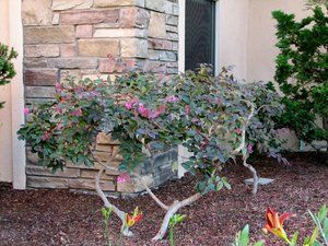 Pruned and thinned Loropetalum. Features purple foliage contrasted with pink lacy flowers.