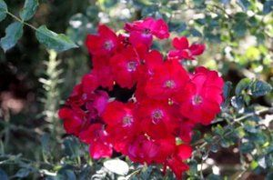 Red carpet rose that requires low water and is very compatable with many native and mediterranean perennials.