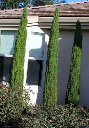 Formal Italian Cypress used in a otherwise very native oriented planting. The owners had just returned from Tuscany and had to have them.