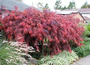 Deep red foaliage of a Japanese Maple.