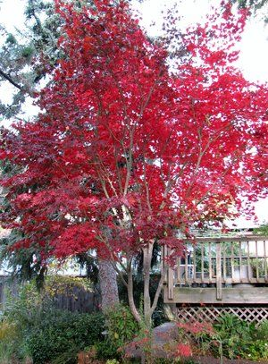 Fall color of a Large Japanese Maple
