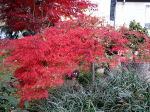 Scarlet foliage of a Lace leafed Japanese maple.