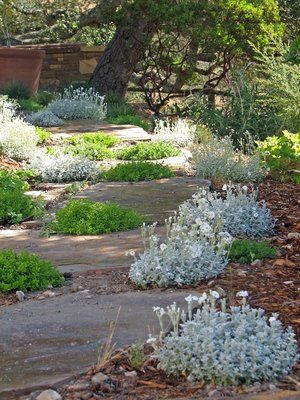 Arizona flagstone used as steppers through a garden area comprised of cerastium t. and Thymus x citriodorus, ''Archer's Gold''.
